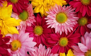 Brightly-colored-chrysanthemums_1680x1050